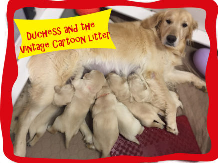 New Litters Ksds Assistance Dogs Inc